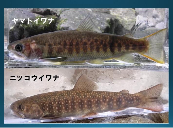 リニア騒動の真相6 大井川のシンボル ヤマトイワナを救え 静岡経済新聞